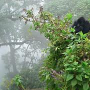 Gorilas de montaña Uganda