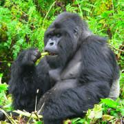 ver gorilas